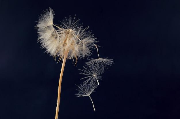 Tarassaco e suoi semi volanti su un buio