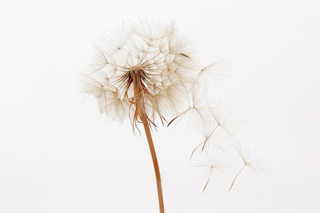 Tarassaco e suoi semi volanti su uno sfondo bianco