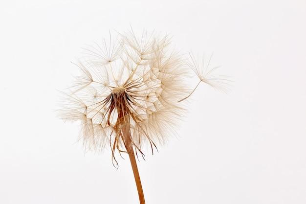 Tarassaco e suoi semi volanti su un muro bianco