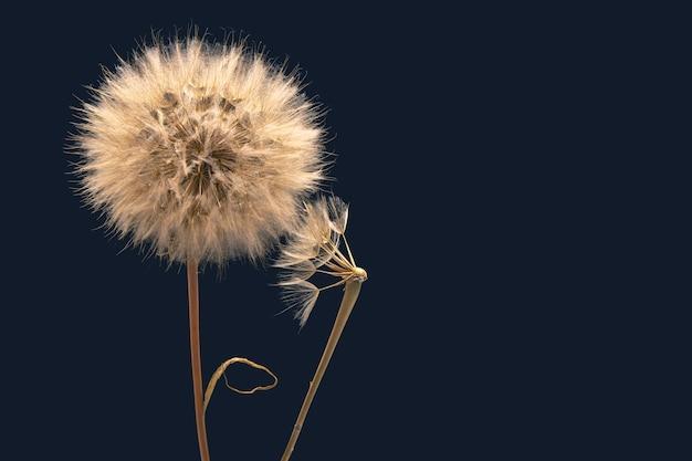 I semi di tarassaco fioriscono su uno sfondo blu scuro