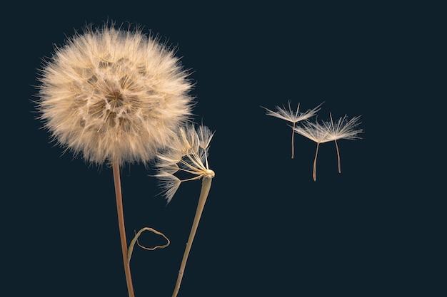 I semi di tarassaco volano via dal fiore nel vento