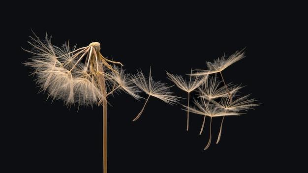 I semi del dente di leone volano da un fiore su uno sfondo scuro. botanica e propagazione della fioritura.