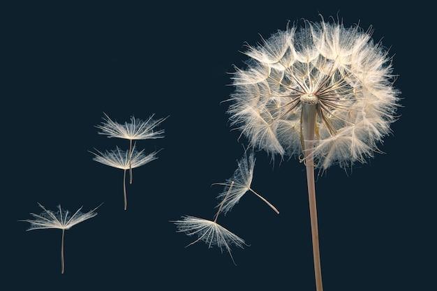 I semi di tarassaco volano da un fiore su un blu scuro