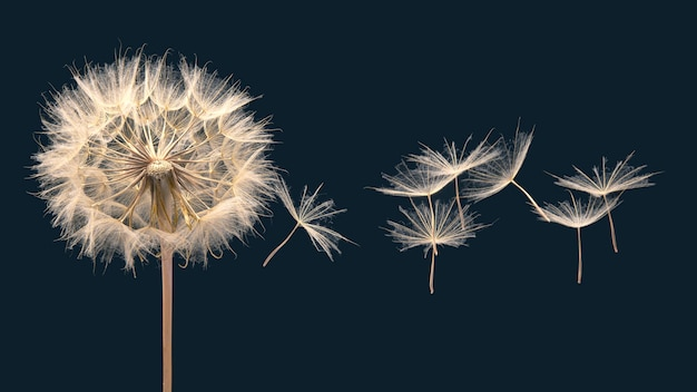 I semi di tarassaco volano da un fiore su un muro scuro, botanica e propagazione della crescita della fioritura.