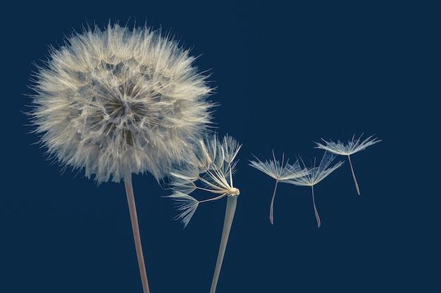 Semi di tarassaco che volano accanto a un fiore su sfondo blu