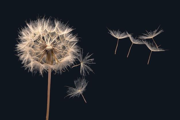 Semi di tarassaco che volano accanto a un fiore su uno sfondo scuro