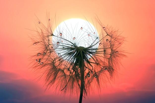 Tarassaco con gocce d'acqua contro il cielo e il sole al tramonto