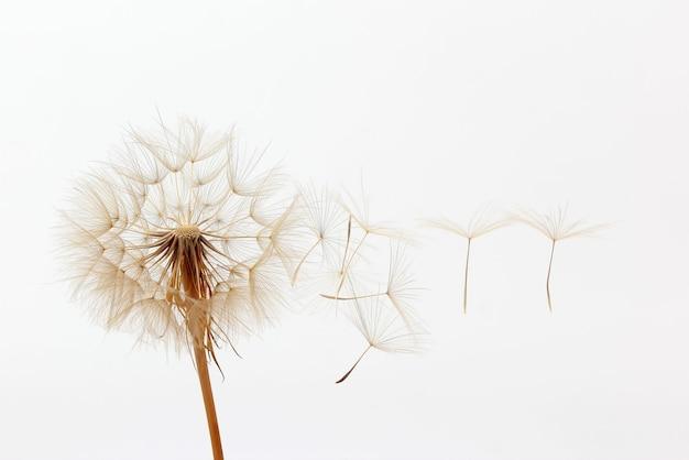Dente di leone e suoi semi volanti su bianco