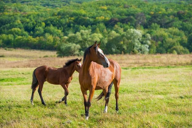 Cavalli della baia scuri in un prato con erba verde