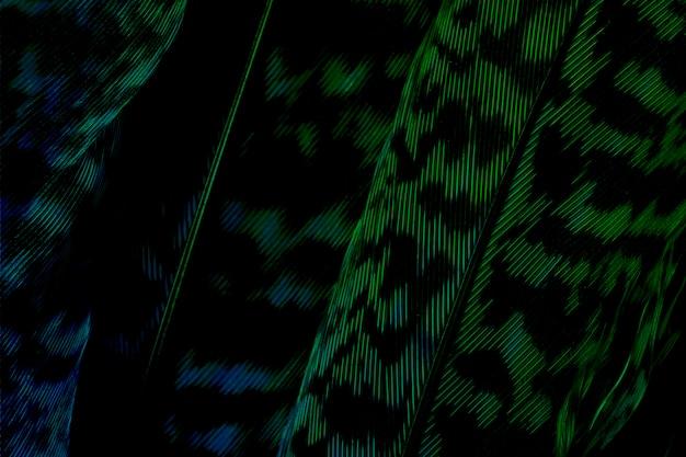 Fondo verde scuro della foglia di calathea zebrina
