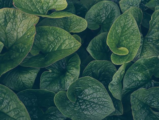 Foglie verde scuro al mattino dopo la pioggia. priorità bassa astratta di struttura del foglio della natura. arte scura lunatica floreale.
