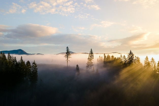 Alberi di pino verde scuro nella foresta di abete rosso lunatico con i raggi di luce dell'alba che splende attraverso i rami nelle montagne nebbiose.