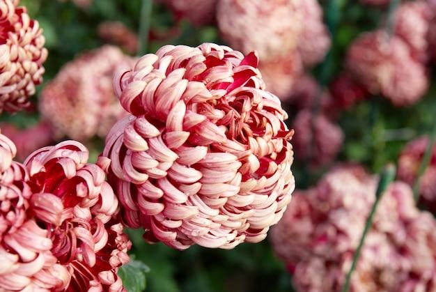Crisantemi rosso scuro
