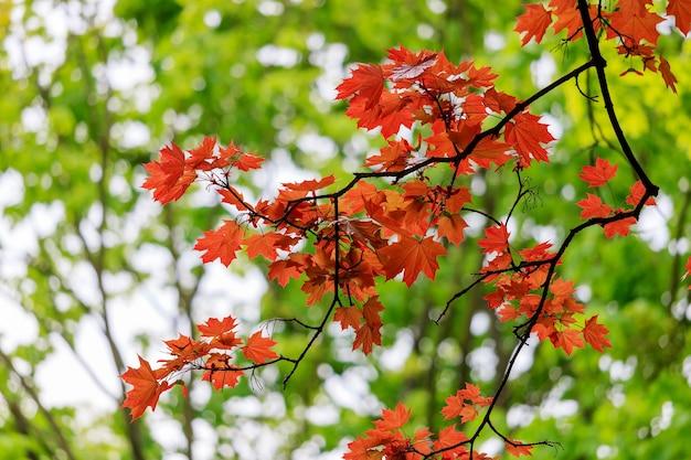 Foglie di acero rosso scuro su un ramo contro alberi verdi