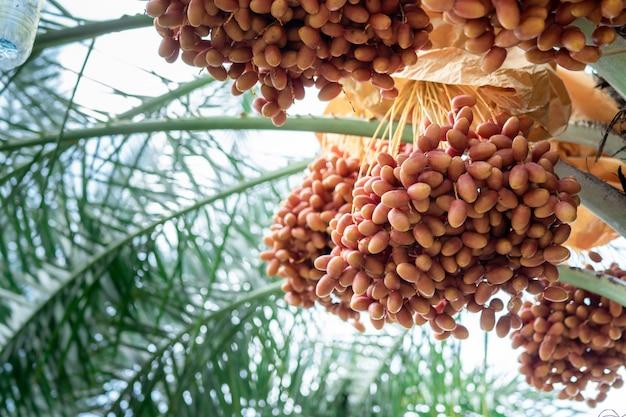 Frutto della palma da dattero tra gli alberi