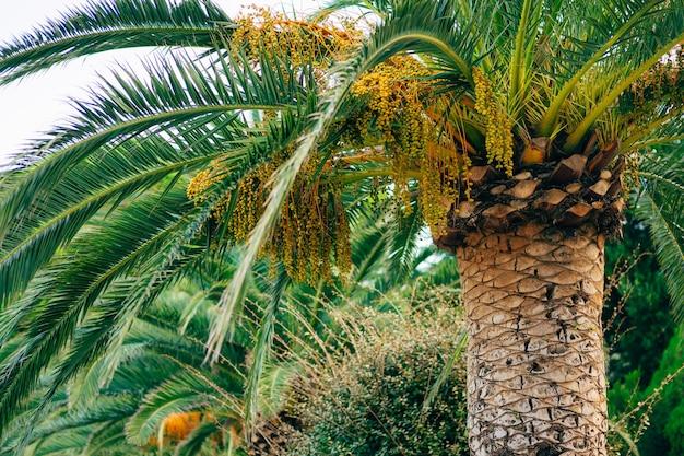 Palma da datteri in montenegro frutta su palma