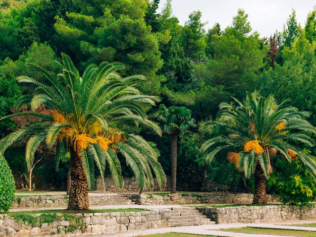 Palma da datteri in montenegro