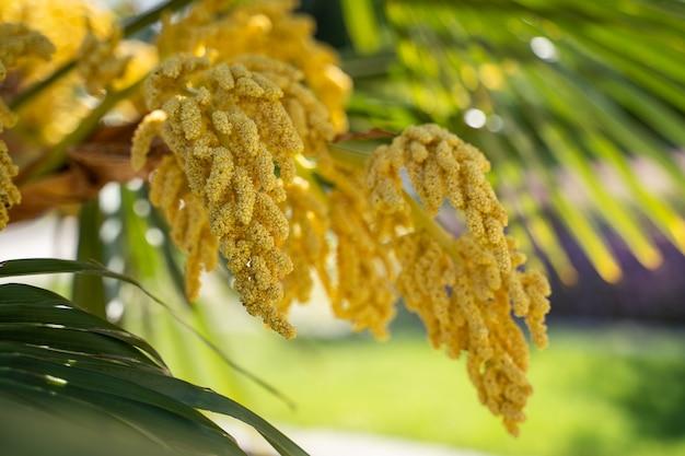 Palma da datteri con fiori di piante albero femmina fiori.