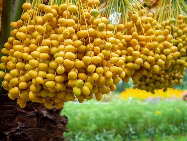 Date sulla palma. mazzo di datteri gialli sulla palma da datteri.