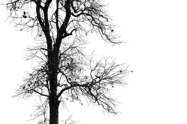 Rami morti, albero morto sagoma o albero secco su sfondo bianco con tracciato di ritaglio.