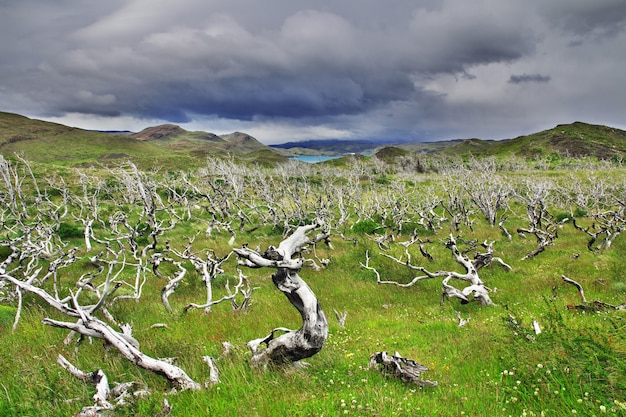 Foresta morta nel parco nazionale torres del paine, patagonia, cile