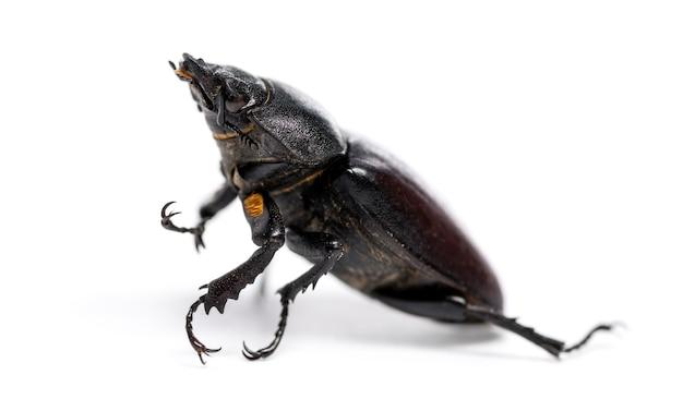 Dead stag beetle sdraiato sulla schiena, lucanus cervus, isolato su bianco