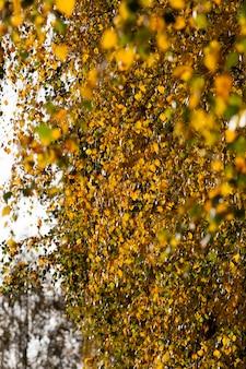 Betulle decidue nella stagione autunnale durante la caduta delle foglie, il fogliame di betulla cambia colore sugli alberi e inizia a cadere, natura bellissima, primo piano