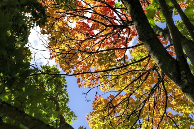 Foresta decidua durante la caduta delle foglie in autunno e sugli aceri, il colore del fogliame cambia in giallo e arancione
