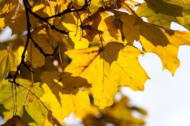 Querce decidue nella foresta o nel parco in autunno foglia caduta, quercia con foglia che cambia, bella natura con quercia