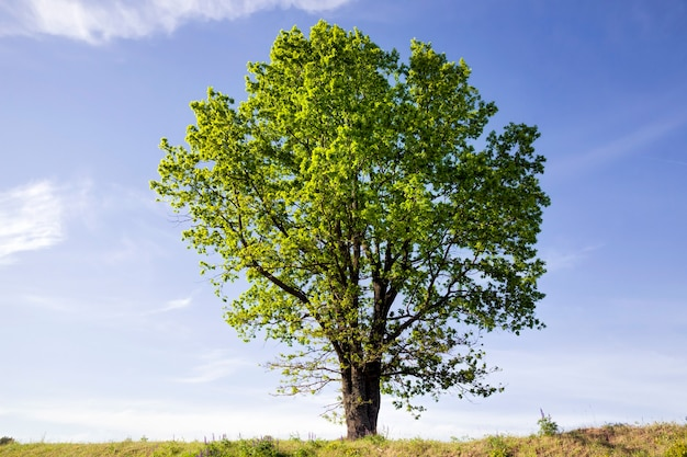 Albero deciduo con fogliame verde