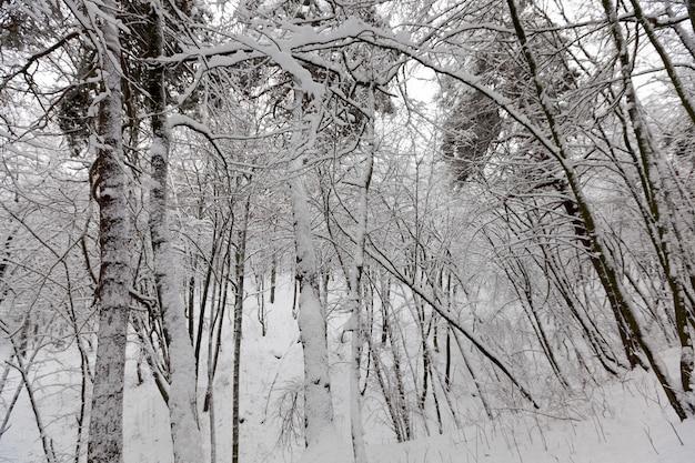 Alberi decidui senza foglie nella neve dopo bufere di neve e nevicate, fenomeni naturali nella stagione invernale con piante e alberi senza foglie