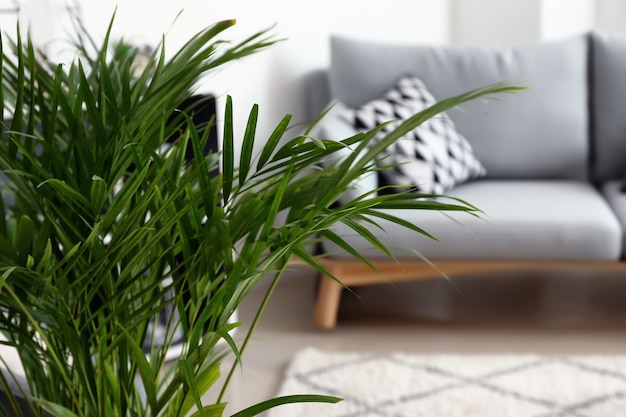 Palma areca decorativa all'interno della stanza