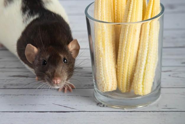 Ratto bianco e nero carino decorativo che mangia mini mais da una tazza di vetro trasparente. primo piano del roditore.