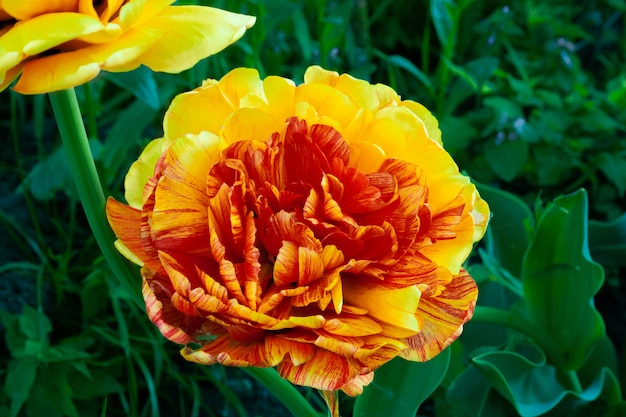 Tulipano a forma di peonia fiore decorativo
