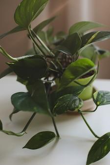 Pianta da interno decorativa con grandi foglie verdi su sfondo bianco