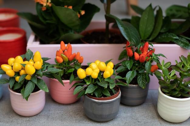 Piccole piante decorative di peperoncino crescono in vasi di argilla nel mini giardino di casa.