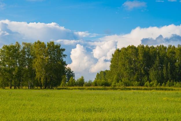 Cielo blu profondo sopra bosco di betulle e prato