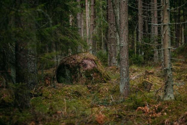 Foresta profonda con percorso. natura selvaggia con pinetrees. natura nordica. grande roccia tra gli alberi.