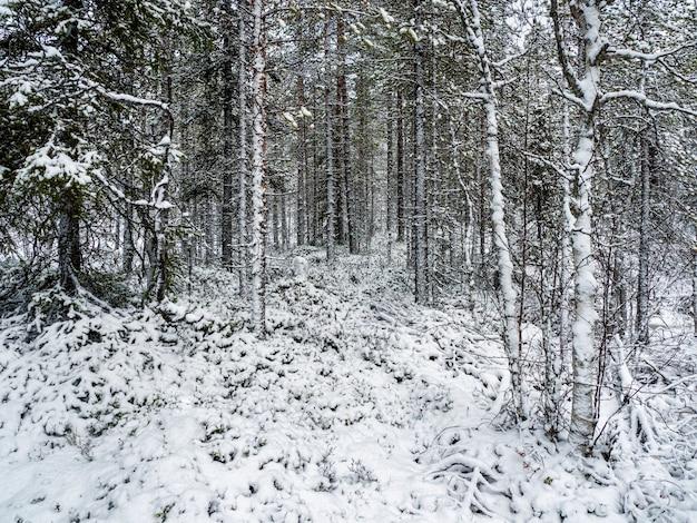 Foresta innevata nordica di inverno profondo in carelia.