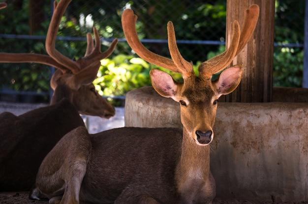 I cervi sono i mammiferi ruminanti che formano la famiglia cervidae