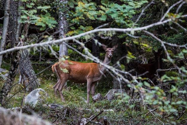 Cervi nella foresta di capcir, cerdagne, france