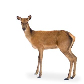 Cervo di fronte a uno sfondo bianco