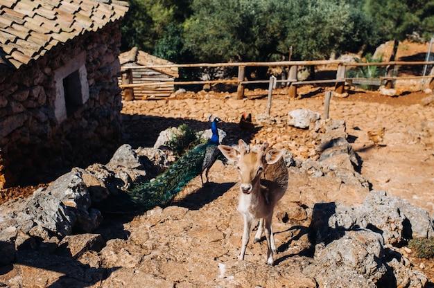 Cervo e pavone in una riserva naturale aperta, zoo, riserva sull'isola di zante