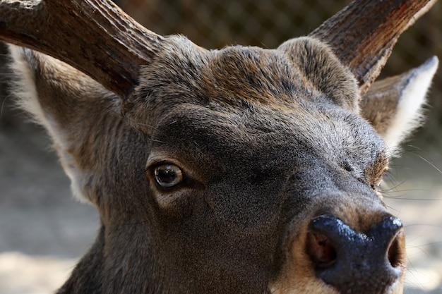 Primo piano del ritratto dei cervi, animale selvatico nello zoo di berlino