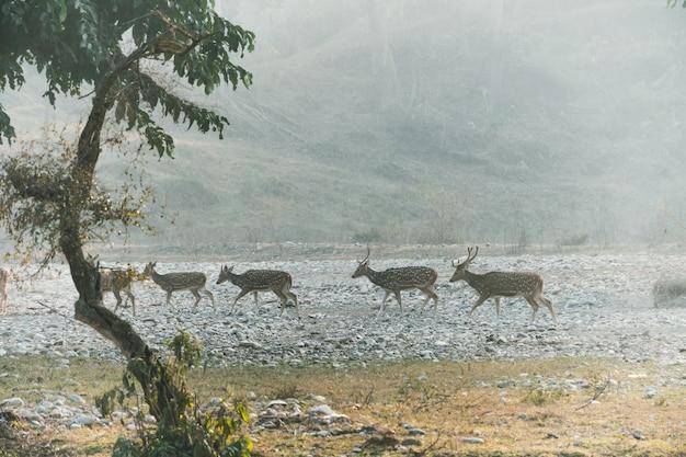 I cervi corrono lungo il canale del fiume prosciugato. fauna selvatica dell'india. habitat naturale dei cervi selvatici. rajaji safari. siccità stagionale. il letto asciutto del fiume.