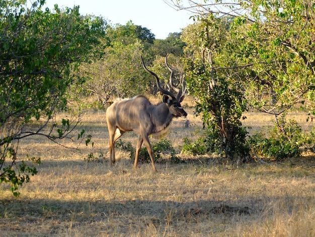 Il cervo nel safari nel parco nazionale di chobe, botswana, africa