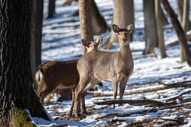 Cervo in piedi ai margini del bosco invernale