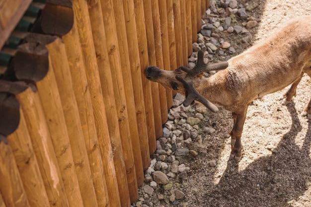 Cervo dietro una staccionata di legno