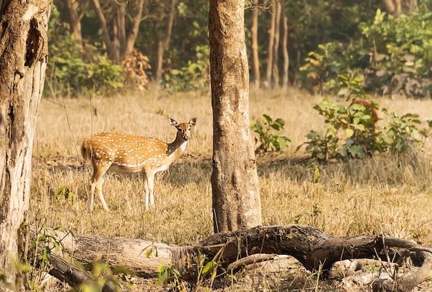 Cervi nel bosco. safari nel parco nazionale rajaji. paesaggio autunnale. cervo femmina nella foresta