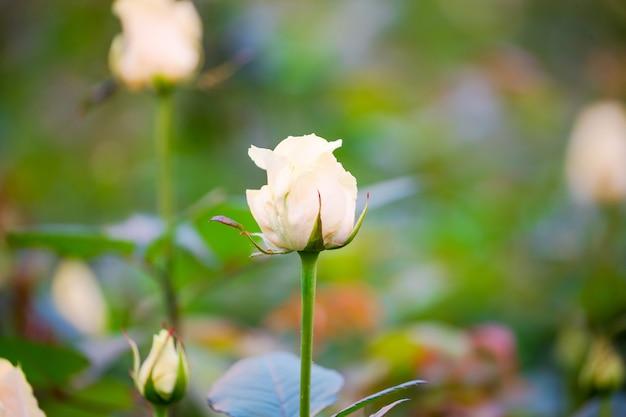 Delicati boccioli di rosa sui cespugli in serra, colpo del primo piano